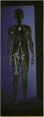 הייתכן כי כל האינפורמציה הגנטית הדרושה לעיצוב מחזור הדם מקורה בנוסחה ״כאוטית״ אחת בלבד?